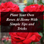Plant Your Own Roses At Home With Simple Tips and Tricks